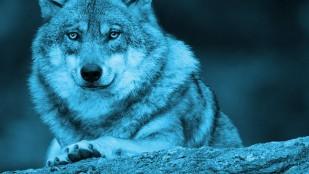 Zdjęcie siedzącego wilka w przbliżeniu